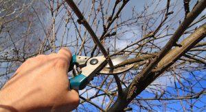dormant-fruit-tree-getting-pruned