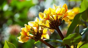 yellow-frangipani-flower