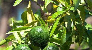 lime-fruit