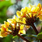 yellow-frangipani-flower