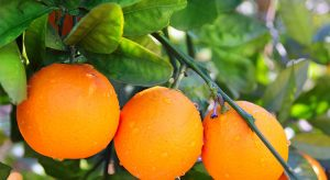 oranges-on-an-orange-tree